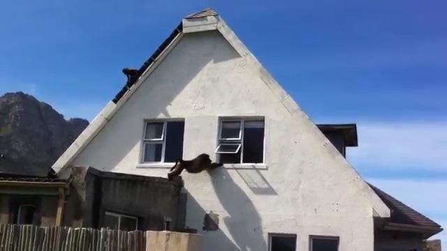 Des babouins pillent une maison - Debarrasser une maison ...