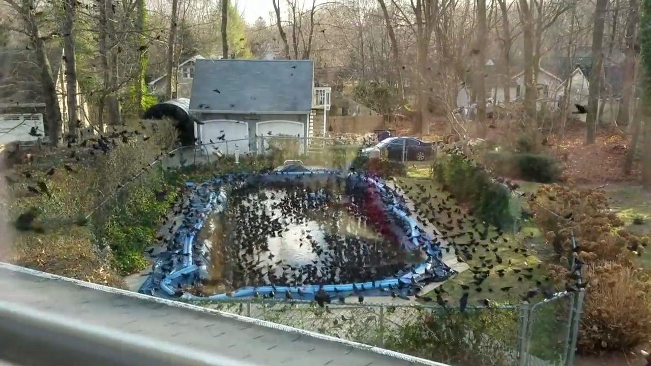 Invasion d 39 oiseaux dans son jardin - Faire peur aux oiseaux jardin ...