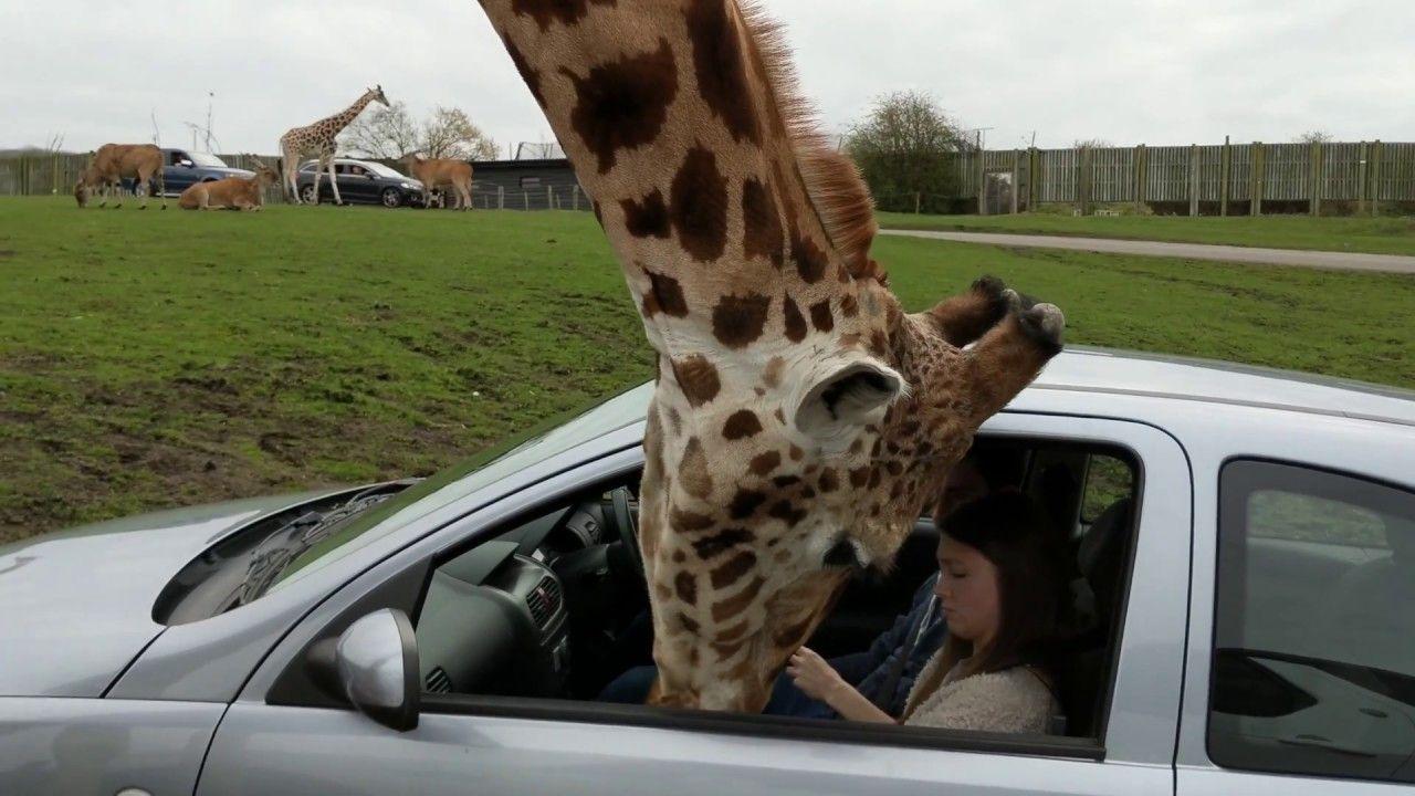 girafe vs vitre de voiture. Black Bedroom Furniture Sets. Home Design Ideas